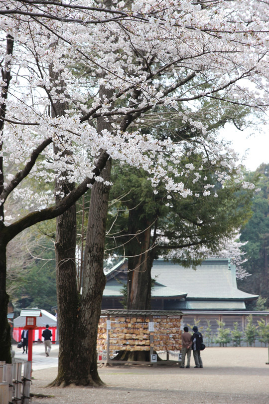鷲宮神社絵馬掛け所と桜 2013年3月28日