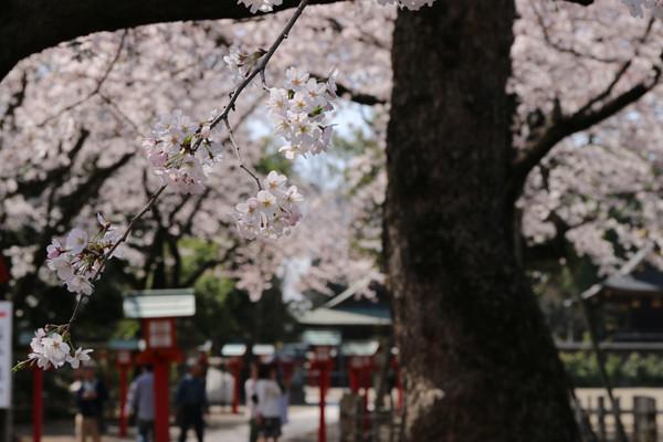 鷲宮神社の桜2015年 03