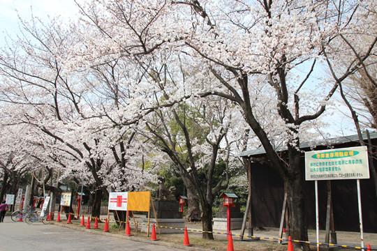 鷲宮神社駐車場から見た桜 2013年3月28日