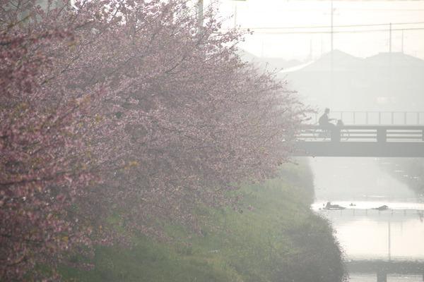 鷲宮の桜20160308-3
