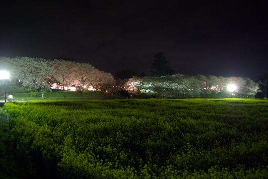 幸手権現堂の夜桜