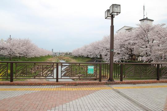 東武鷲宮駅西口の橋から見た桜 2013年4月1日