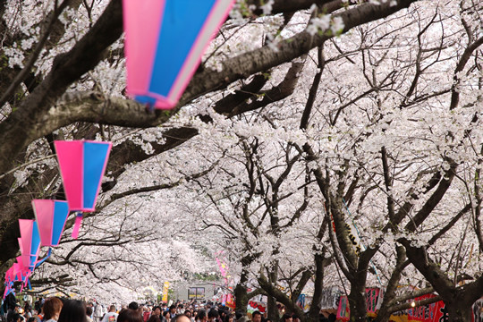 幸手権現堂の桜 4月1日