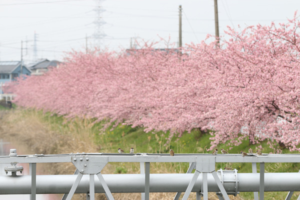 鷲宮の桜20160305-2