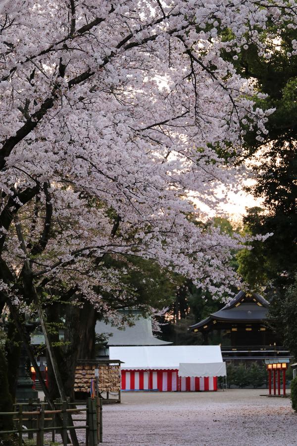 鷲宮の桜20160408-2