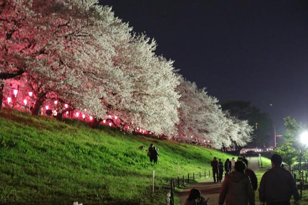 幸手権現堂 夜桜7