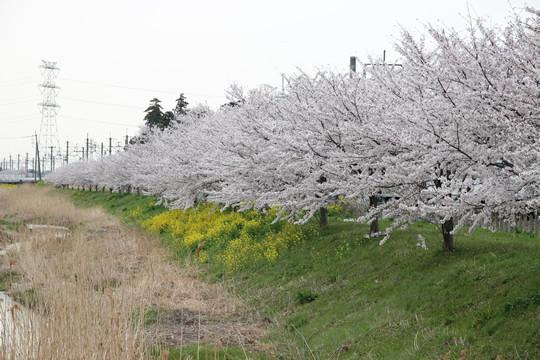 東武鷲宮駅西口の橋から見た桜2 2013年4月1日