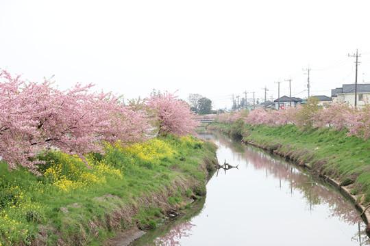 青毛堀川の河津桜