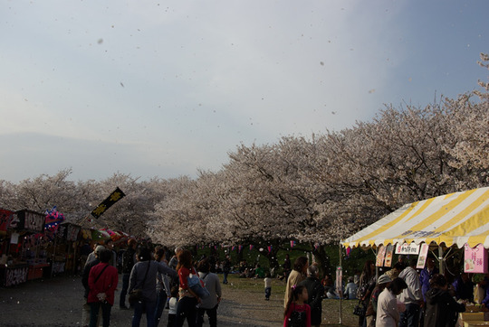 幸手権現堂の桜吹雪