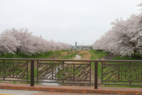 東武鷲宮駅前の桜2015年 01