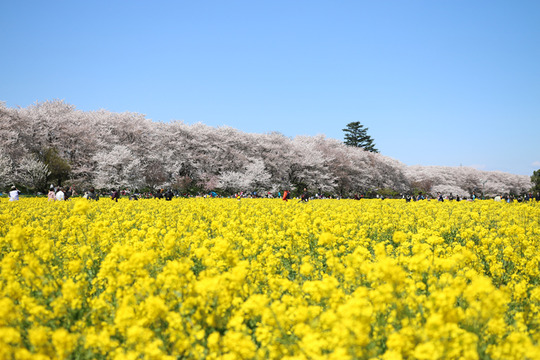 幸手権現堂の桜2014-04