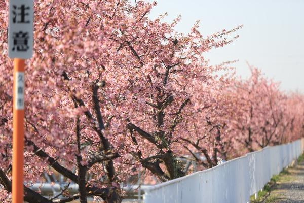 鷲宮の河津桜(久喜市鷲宮青毛堀川)平成31年3月9日-9