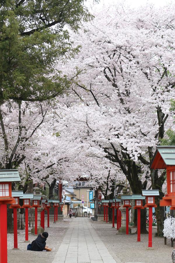 鷲宮神社の桜2015年 15