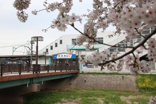 東武鷲宮駅西口の桜 2013年4月1日