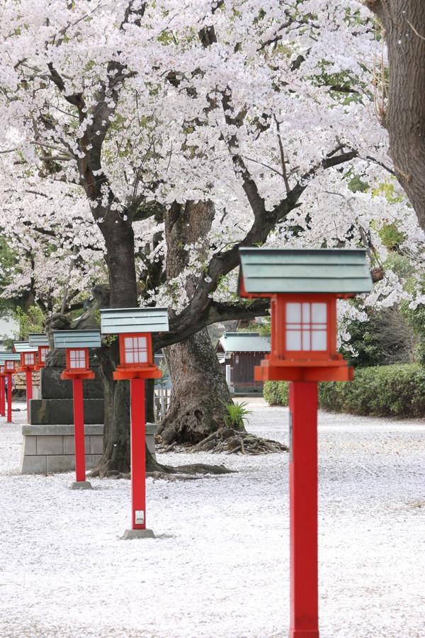 鷲宮神社の桜2015年 17
