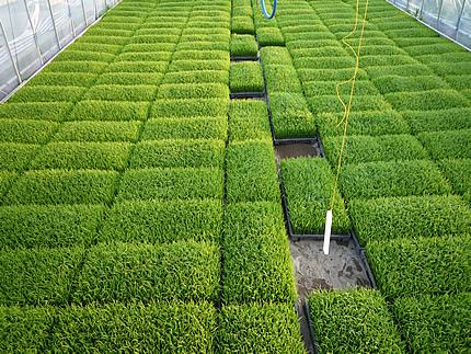 田植えin2010 これから植えられる苗