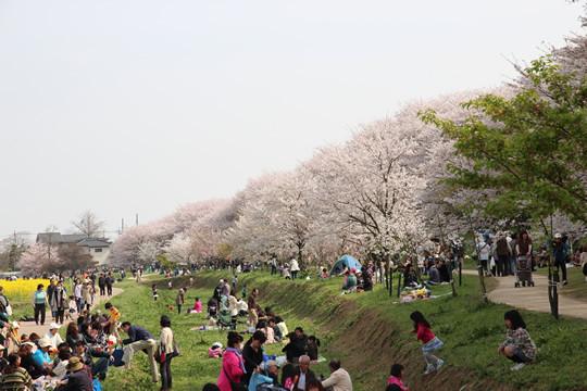 幸手権現堂の花見客と桜 4月1日