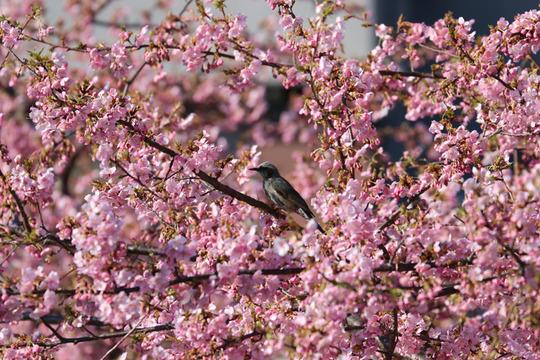 鷲宮青毛掘りの河津桜と野鳥