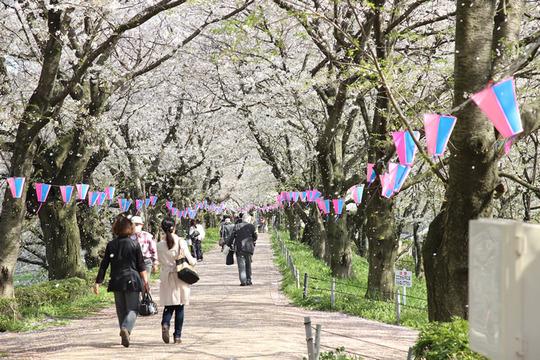 幸手権現堂の桜吹雪 4月4日