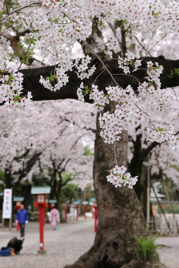 鷲宮神社の桜2015年 14