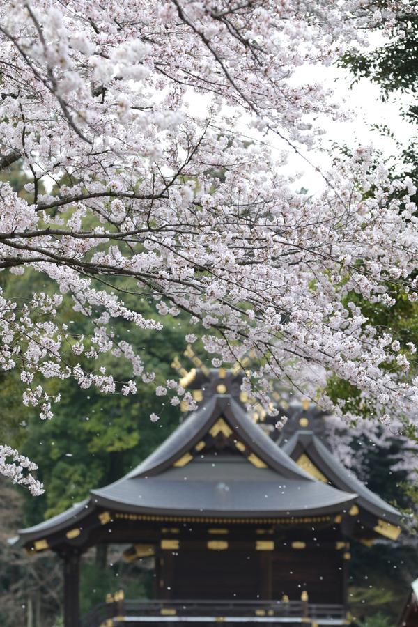 鷲宮の桜20160403-3
