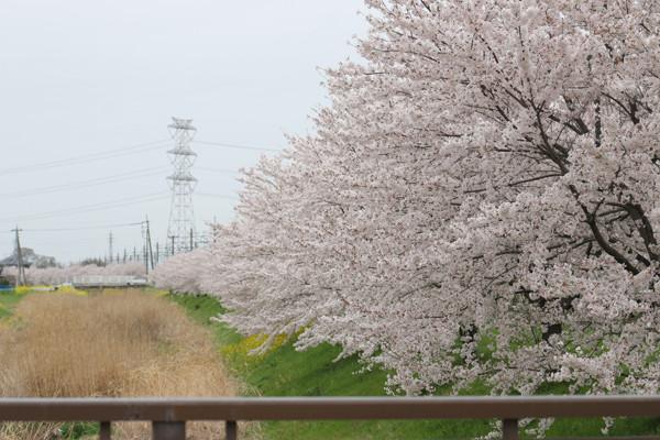 東武鷲宮駅前の桜2015年 03