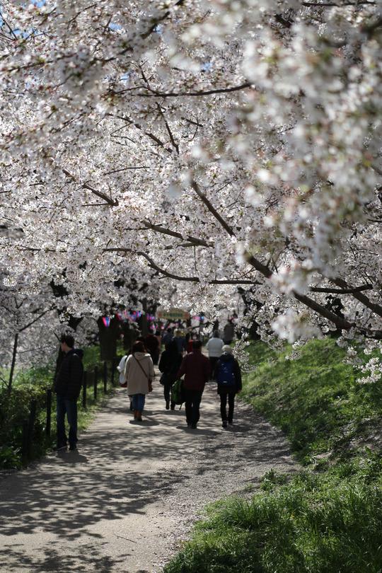 幸手権現堂の桜2014-01