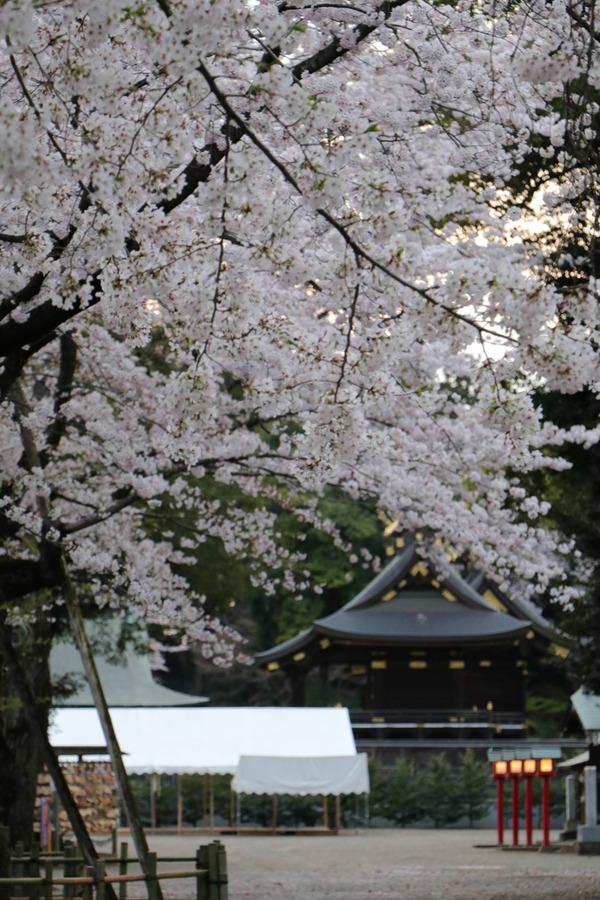 鷲宮の桜20160406-1