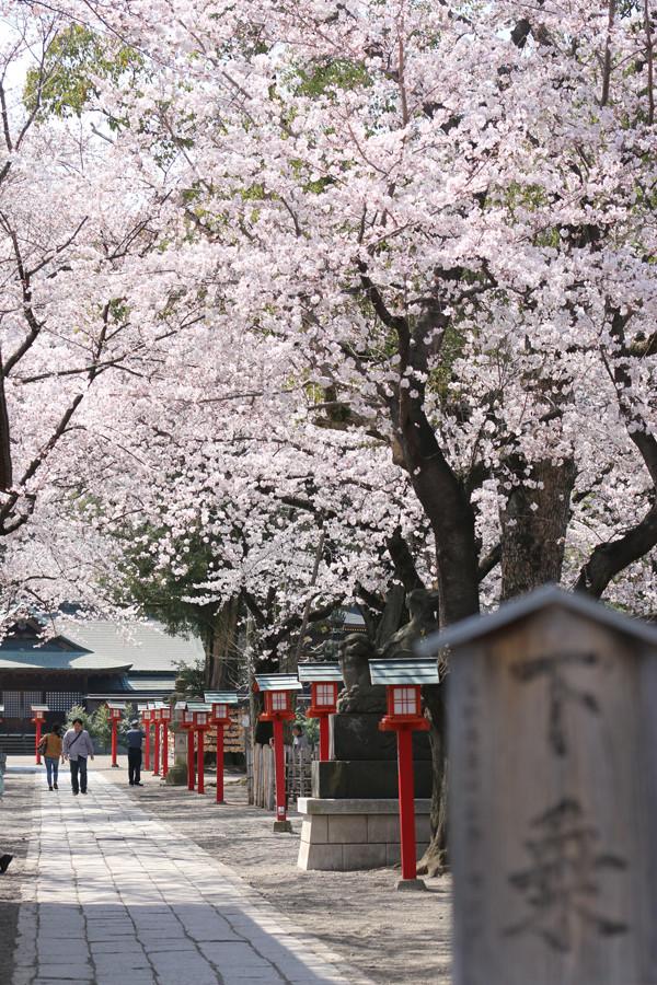 鷲宮神社の桜2015年 05