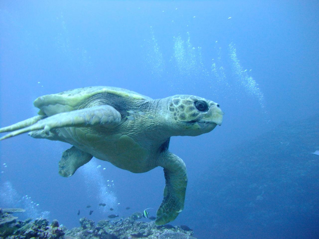 アカウミガメの画像 p1_38