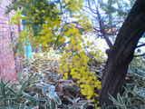 ミモザ咲く