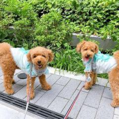 渡辺美奈代、炎天下で愛犬に洋服を着こませ大炎上「熱中症で危ない!」