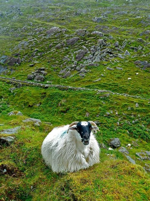 sheep-272593_1280