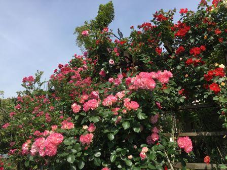 西嶋さん宅のバラ
