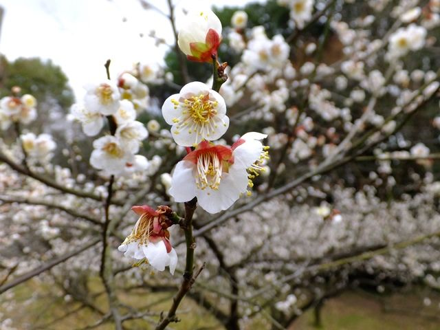 護國神社の梅