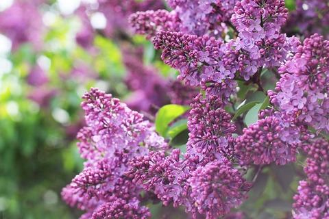 lilac-1356716_1280 (1)