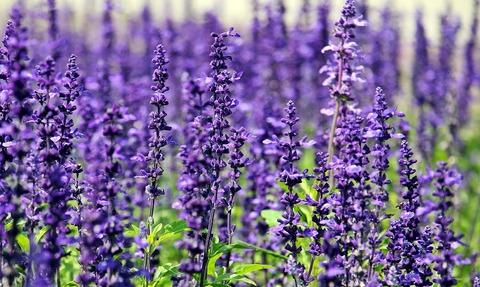 lavender-1507499_1280 (1)