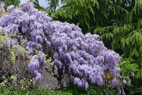 wisteria-1337054_1280 (1)