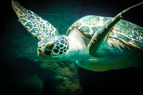 sea-turtle-427942_1280 (1)