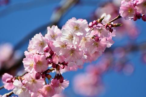 cherry-blossom-3301306_1920 (1)