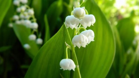 lily-of-the-valley-3213260_1920 (1)