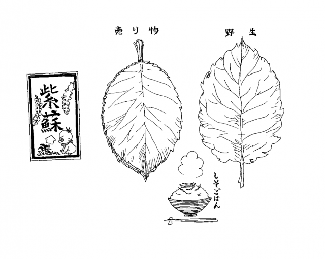 紫蘇(食べ物エッセイ『くいいじ』より)