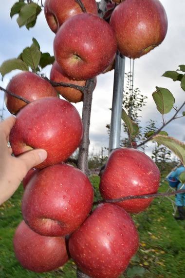 りんごF180923