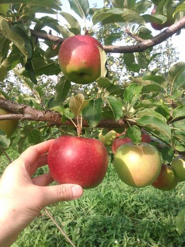 りんごC180920