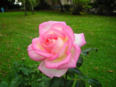 薔薇フランスB