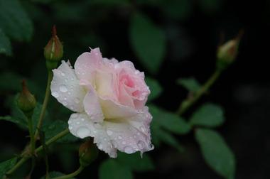 Flower4薔薇白B