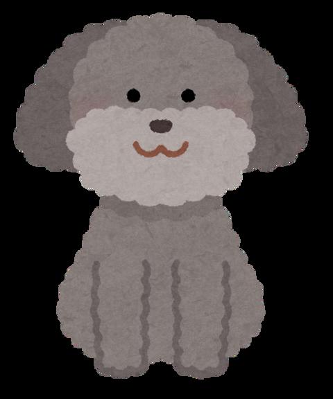 dog_toypoodle_gray