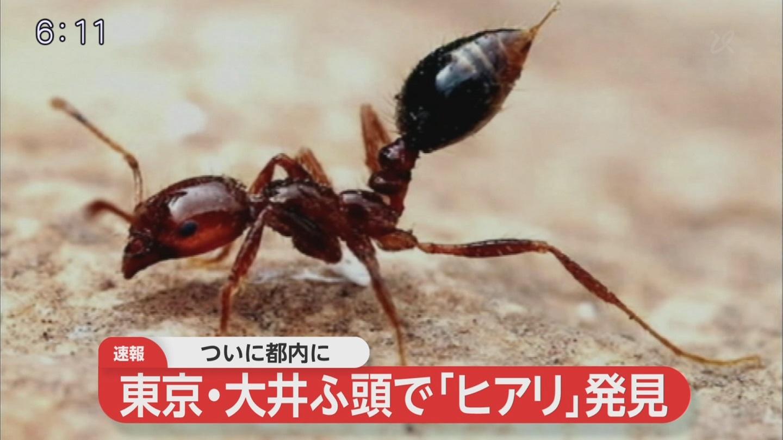 【速報】ヒアリ、ついに東京で見つかる・・・のサムネイル画像