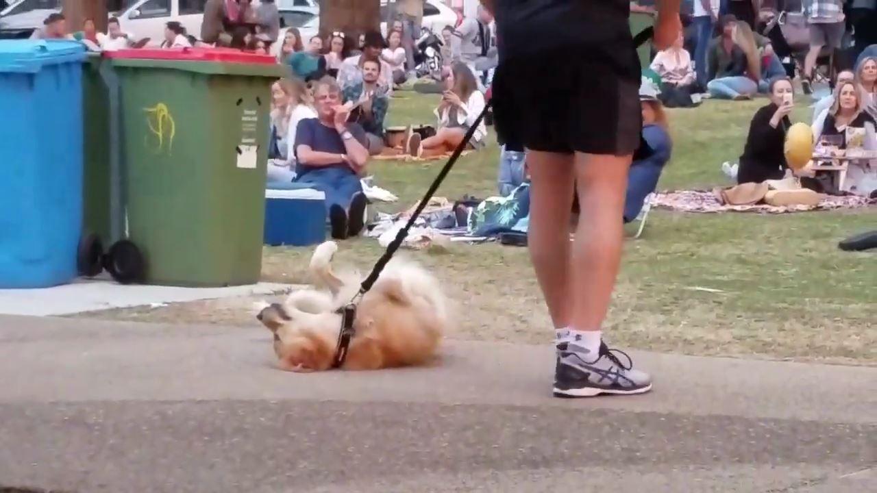 【可愛い】散歩が終わるのが嫌で死んだフリする犬wwwwwwwwwwwのサムネイル画像