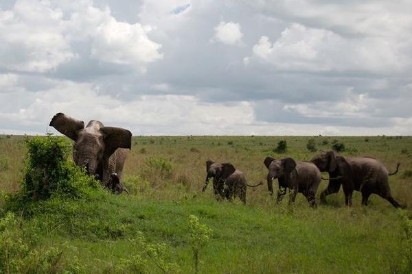 アフリカ象体重500kgのバッファローを軽く持ち上げるのサムネイル画像